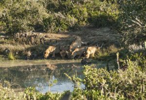 _MAY2315 South Africa Lion with Her 4 Cubs Drinking.jpg