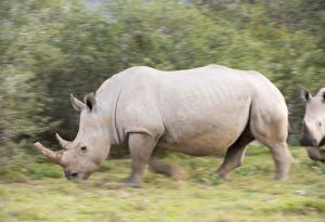 _MAY5158 South Africa Rino on the Move.jpg