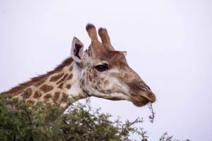 _MAY5196 South Africa Giraffe.jpg