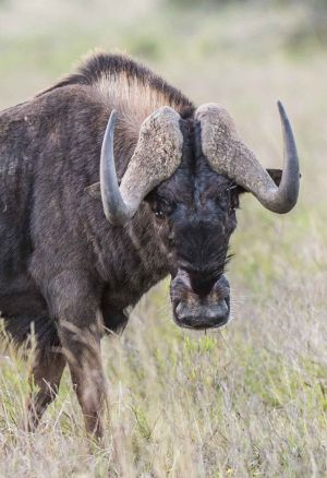 _MAY5222 South Africa Wildebeest.jpg