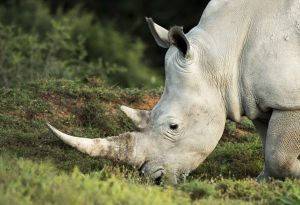_MAY5354 South Africa White Rino.jpg