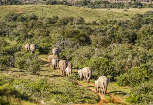 _MAY6004 South Africa Herd of Elephants.jpg