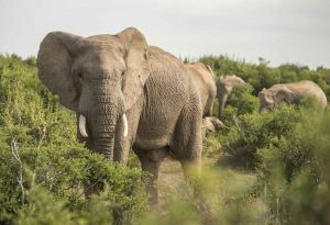 _MAY8082 South Africa Elephant.jpg