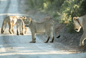 _MAY9284 South Africa Lion Cubs.jpg