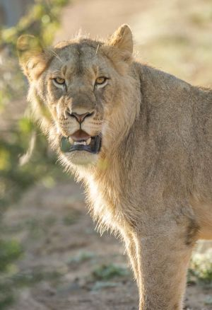 _MAY9368 South Africa Male Lion Cub.jpg