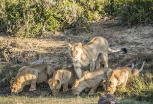 _MAY9450 South Africa Lion with Her 4 Cubs.jpg