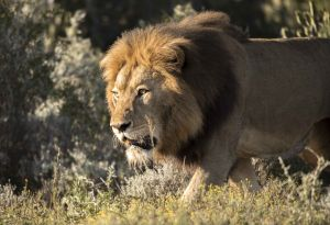 _MAY9704 South Africa Male Lion on the Hunt.jpg