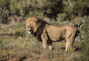 _MAY9746 South Africa Lion Full.jpg