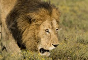 _MAY9762 South Africa Male Lion Head Shot.jpg